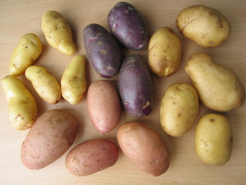 sarpo-blight-resistant-potatoes-kifli-blue-danube-sarpo-shona-sarpo-una--1024x768